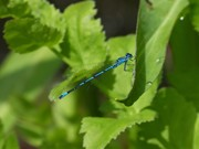 Male Azure damselfly by the pond, June 11th' '18