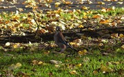 Jay in the park, Nov 12th '18