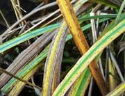 Yellow Flag Iris leaves in the pond, Nov 12th '18