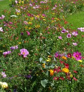Rather late in the season, the annual flower beds are now reaching their peak, Aug 27th '17