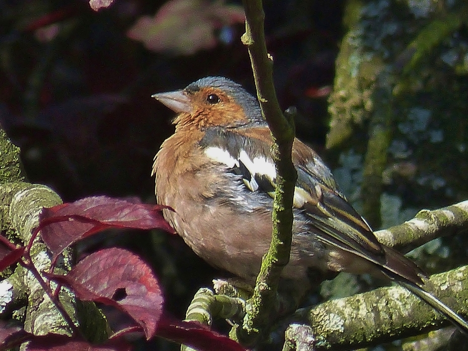 Male chaffinch seen on bird walk today, Sept 20th '15