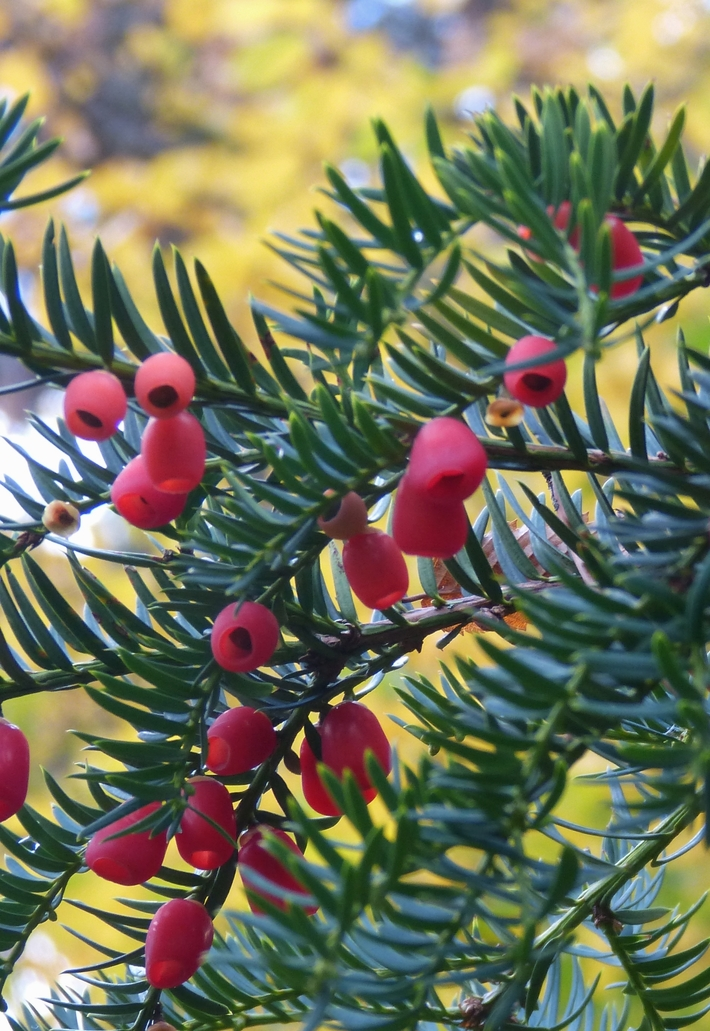 Good crop of yew berries on the park yew trees, Oct 28th '15
