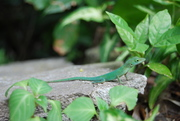 Guadeloupe petit lézard vert