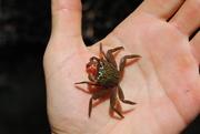 Guadeloupe petit crabe de mangrove