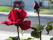 Red roses in my front yard
