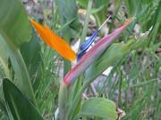 bird of paradise in my garden 2009