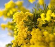 mimosa_tree