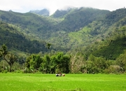 kelimutu-rice-paddy