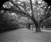 trees_moss_0