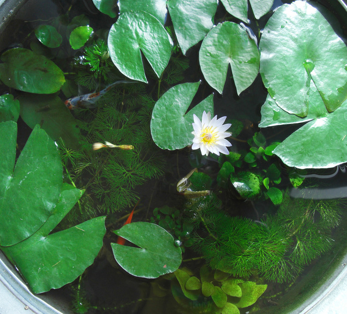 Lily Pot