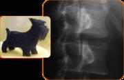 Scottish dog
