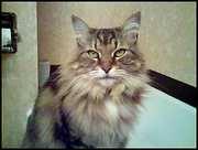 Jynx ~ age 10 ~ Maine Coon Cat ~   Photogenic