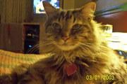 Codi ~ age 10 ~ Maine Coon Cat
