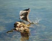 Heron's big splash