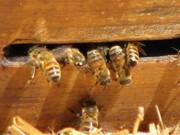 Santa Fe Bees (K.Vinson)