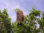 Bee swarm in apple tree