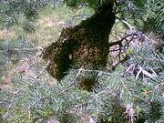 Bee swarm in pine tree