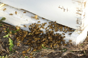 Bee swarm marching into hive 2