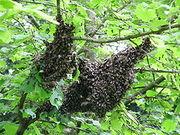 A difficult swarm