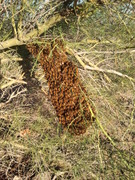 Honey Hive Farms, Bee Swarms