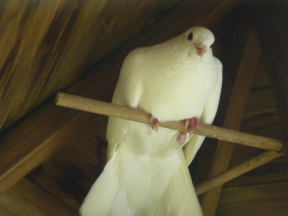 'Sabrae' [Male] Snow Dove P1040473