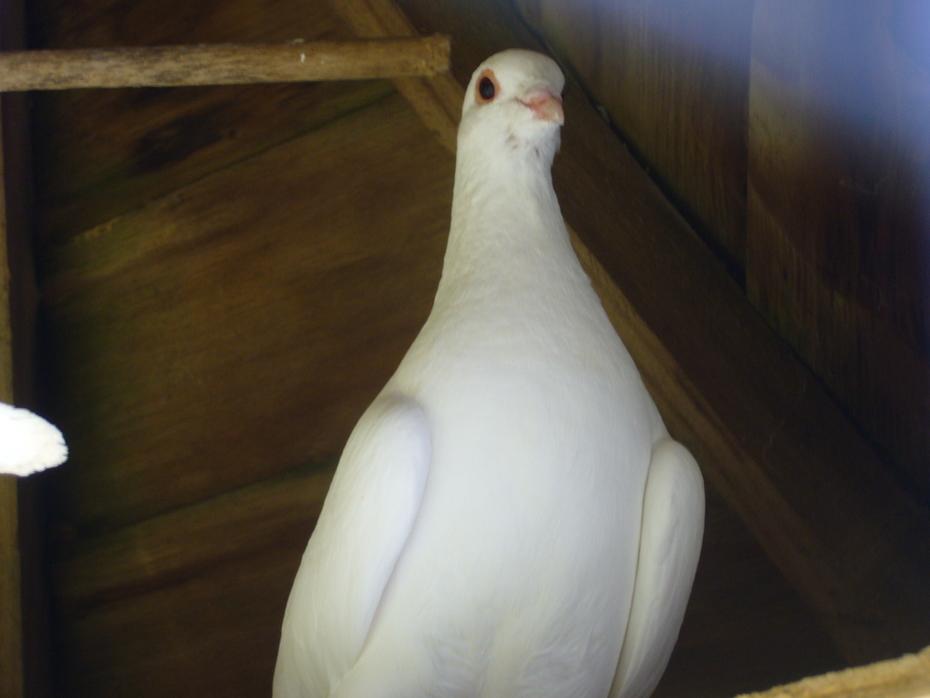 ' Saphira' [Female] snow dove..P1040491