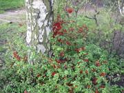 Pretty red shrubs