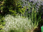 variegated grass and ceonothus