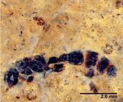 prehistoric ant species