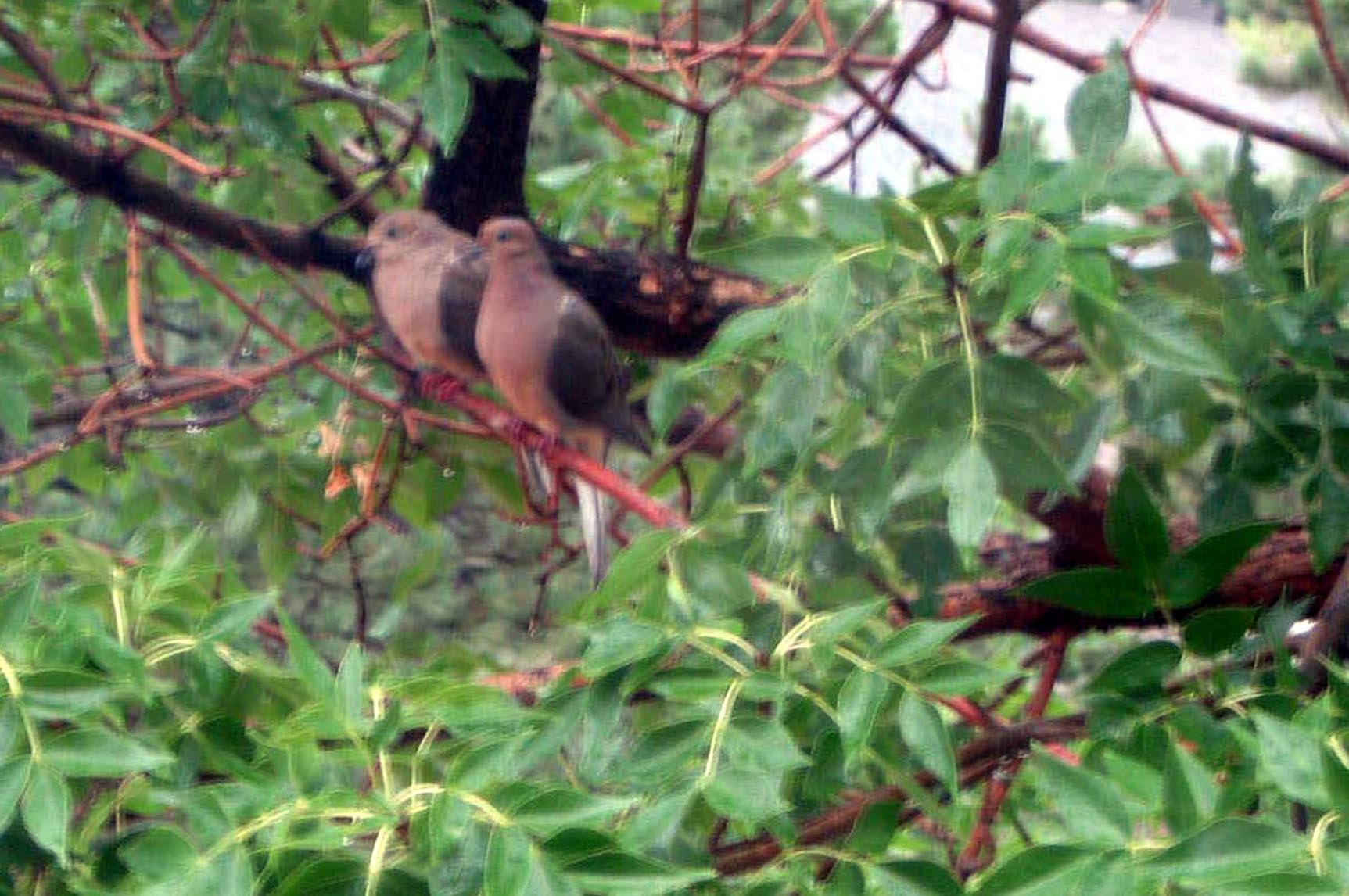 Morning dove pair in green ash 7_8_12