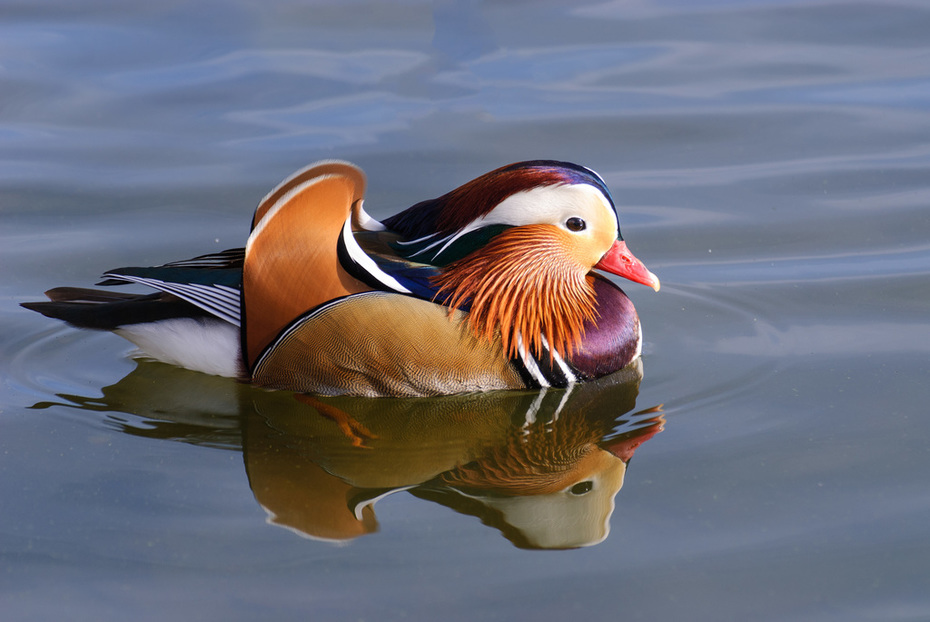 Mandarin Duck 11-14-12