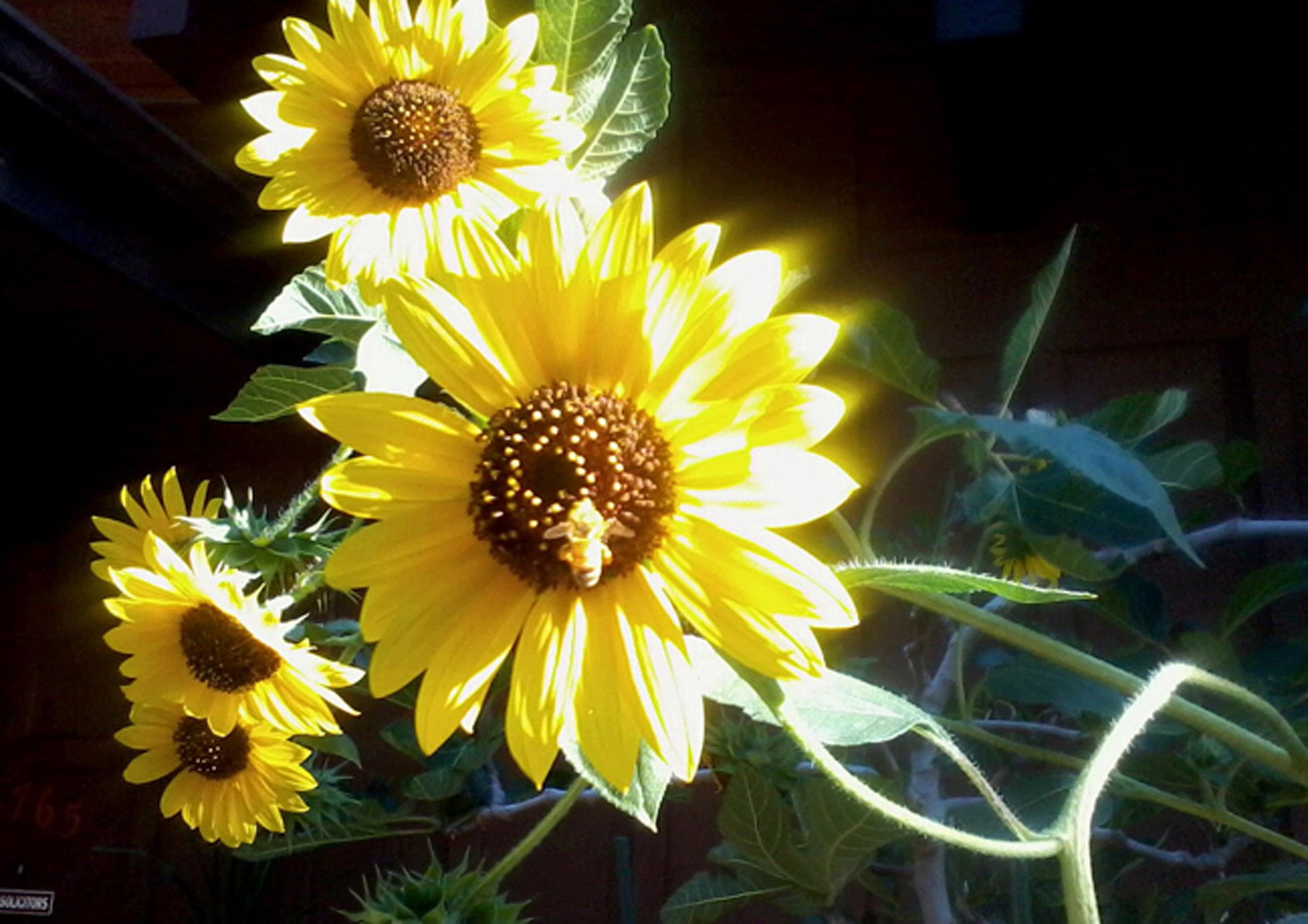 Honeybee on Sunflower on Shanahan Ridge