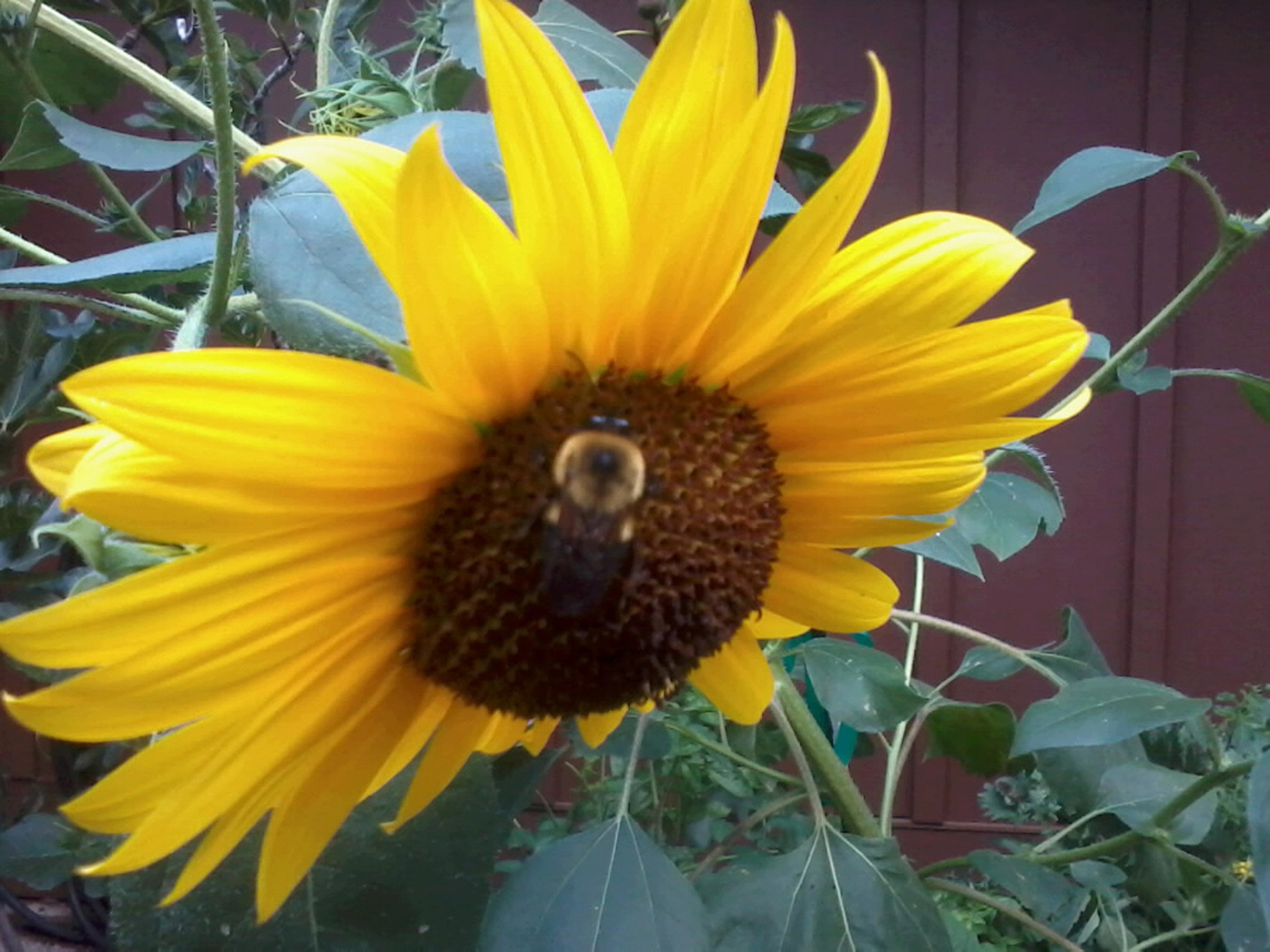 Bumblebee on Sunflower on Shanahan Ridge