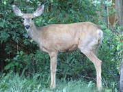 Deer in My Back Yard