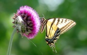 Swallowtail and thistle