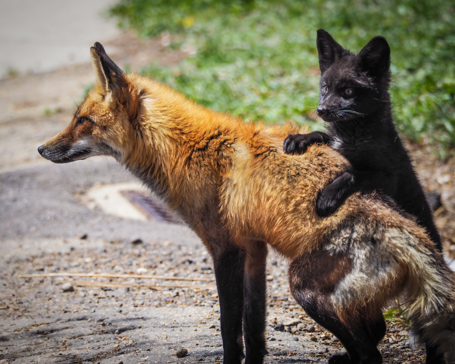 Foxes-13