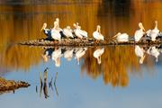 White pelicans at Walden Ponds