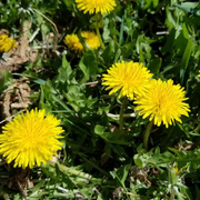 Dandelions, Sure Signs of Spring!