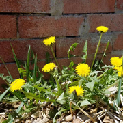 Dandelions in the Spring Sunshine