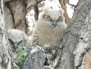 Baby Owls 2018