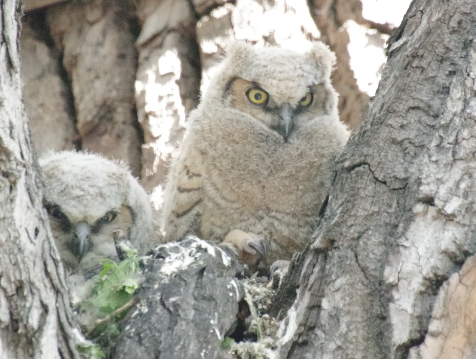 Baby Owls 2018