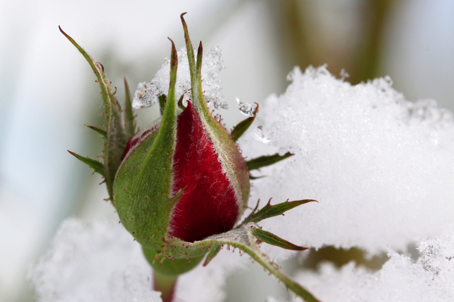 Rose Bud in the Snow