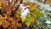 Snowy Leaves - 2