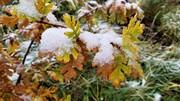 Snowy Leaves - 1