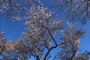 Sakura Light 2014