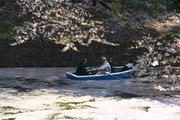 Sakura Bliss Too 2014