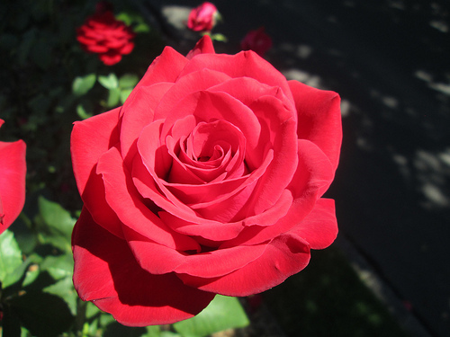 The Perfect Red Rose