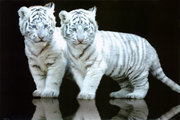 PH0207~White-Tiger-Cubs-Posters