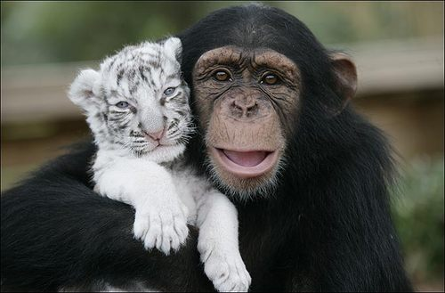 Everyone loves baby tigers