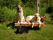 Dogs at housesit